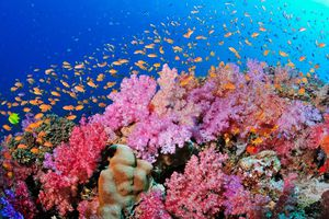 'Rừng già san hô' dưới đáy đại dương