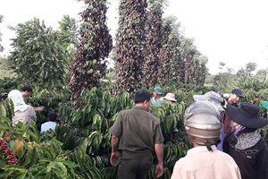 Hơn 700 gốc tiêu đang cho thu hoạch bị kẻ gian chặt trộm