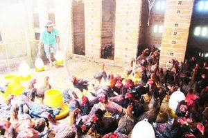 Vạn Ninh: Khuyến cáo các hộ chăn nuôi phòng, chống cúm A H5N6