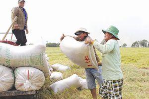 Xuất khẩu gạo: cần tiếng nói chung