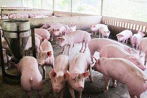 Giá lợn hơi giảm nhưng giá thịt vẫn ở mức cao