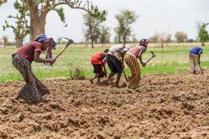 Cây trồng lai – vũ khí đối phó hạn hán của Mali