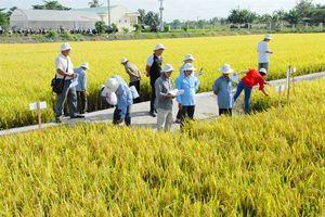 Vĩnh Long: Đánh giá giống lúa chất lượng trong vụ Thu Đông 2018