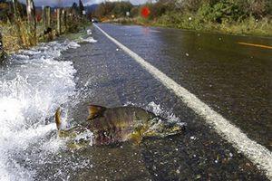 Cá hồi băng qua đường, bất chấp ô tô qua lại