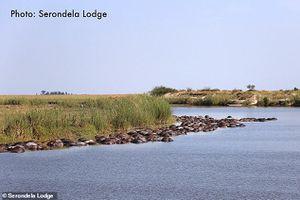 Hé lộ lý do khiến hơn 400 con trâu rừng chết đuối, nổi đen trên mặt sông