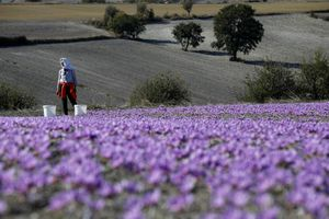 Nghề kinh doanh nhụy hoa nghệ tây - saffron 'nở rộ' ở Hy Lạp