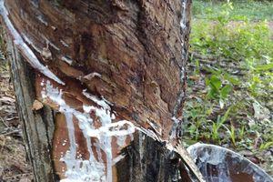 Tố cáo phá rừng, sáng ra choáng váng thấy vườn caosu bị... phá gần 100 cây