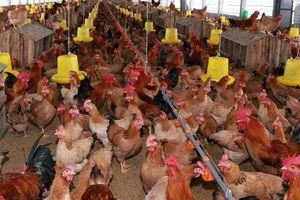 Đau đầu xử lý môi trường chăn nuôi