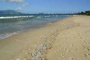 Cá chết trắng bờ biển Đà Nẵng nghi do nổ mìn đánh cá