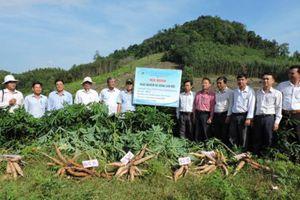 Khảo nghiệm bộ giống sắn mới tại Bình Định