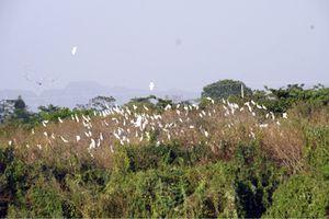 Vườn chim hàng nghìn con ngay bãi sông Hoàng Long