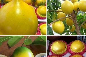 Xuất hiện loại vú sữa lạ: Trái chín màu vàng óng, ăn mát lạnh