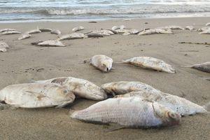 Cá chết trắng xóa dạt vào bờ biển Đà Nẵng