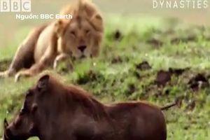 Khi sư tử lười ăn thịt, để con mồi hờ hững đi trước mặt