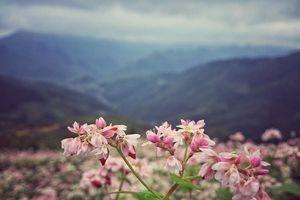 Vì sao loài hoa nổi bật ở Hà Giang có tên tam giác mạch?