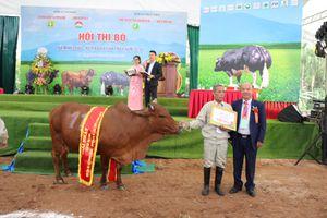 Chung khảo Hội thi bò xã Minh Châu lần thứ 2
