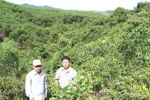Rừng FSC của Công ty Lâm nghiệp Triệu Hải