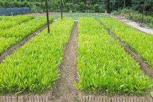 Giống cây lâm nghiệp là yếu tố quyết định hiệu quả sản xuất