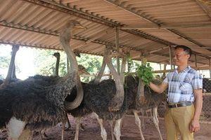 'Đột nhập' những trại nuôi đà điểu thu tiền tỷ