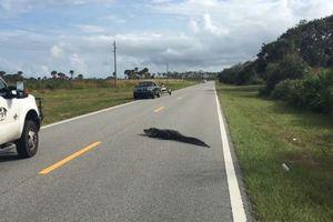 Cá sấu phơi nắng giữa đường gây ùn tắc giao thông
