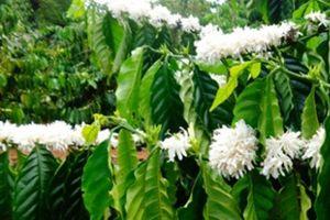 Mùi hoa cà phê