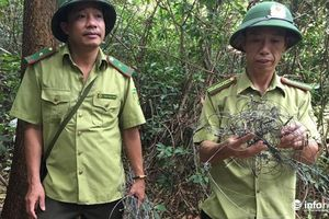 Hà Tĩnh: Phát hiện hàng trăm chiếc bẫy thú rừng trên núi thiêng Hồng Lĩnh