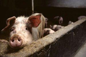Trung Quốc xác nhận đợt bùng phát mới dịch cúm lợn ở An Huy