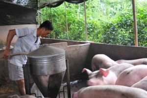 Giá heo hơi mới nhất 12/11: Nhà nông sốt ruột vì giá lợn hơi chưa ngừng đà giảm