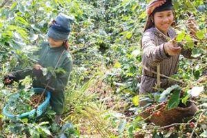 Mùa thu hoạch cà phê Sơn La, được bao nhiêu thương lái 'khuân' hết