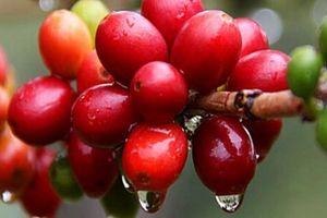 Giá nông sản hôm nay 12/11: Giá tiêu giảm mạnh 2.000 đồng, giá cà phê chưa có dấu hiệu hồi phục