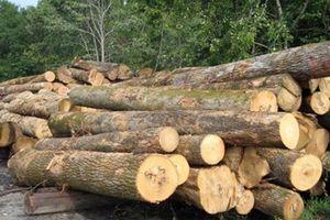 Doanh nghiệp gặp khó khi giải trình nguồn gỗ hợp pháp