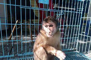 Huế: Giải cứu khỉ bị thương đang được bán ở chợ