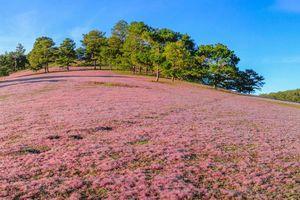 Mùa hội cỏ hồng 2018 tại Lâm Đồng diễn ra từ ngày 24/11