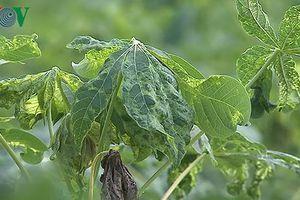 Bệnh khảm lá sắn ở Đắk Lắk có nguy cơ lây lan diện rộng