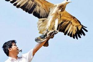 Công phu thú chơi loài chim 'chúa tể sa mạc'