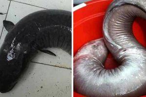 Nhóm thợ săn cá phục kích một tuần bắt cá chình 'khủng' 17 kg
