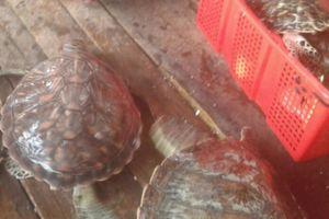 Kiên Giang: Cơ sở mua hải sản nuôi nhốt 16 con rùa biển quý hiếm