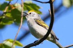 Phát hiện chim chích là hậu duệ của 3 loài