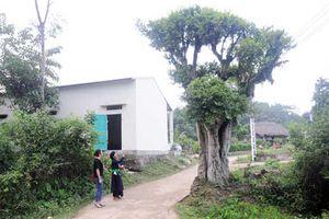 Vùng đất những cây duối cổ quý hiếm, cả làng giữ như giữ vàng