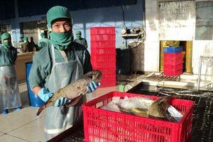 Quảng Ngãi: Doanh nghiệp xin mua cá nóc để xuất khẩu