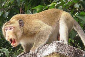 'Nghịch dại', một phụ nữ bị khỉ cắn nát tay