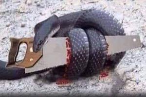 Chuyện: 'Con rắn và cái cưa!'