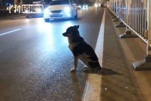 Chú chó đứng giữa đường gần 3 tháng chờ chủ quá cố quay về