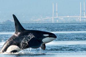 Canada giảm đánh bắt cá hồi để bảo vệ cá voi sát thủ