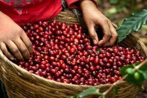 Giá nông sản hôm nay 14/11: Giá cà phê tiếp tục giảm, giá tiêu tạm đứng im