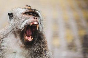 Gặp họa khi khỉ hàng xóm cắn nát tay