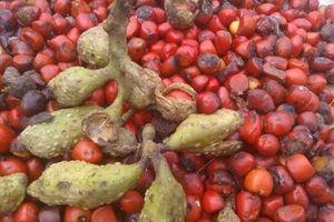 Hạt dổi rừng – Đặc sản Tây Bắc