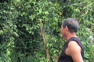 Hồ tiêu rớt giá thê thảm, nông dân lâm cảnh nợ nần chồng chất