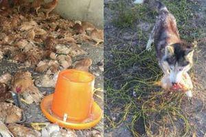 Khởi kiện vì 600 con gà nhà bị giết sạch sau 1 đêm bởi chó nhà hàng xóm