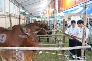 Xã Minh Châu (Ba Vì): Sôi nổi cuộc thi bò lần thứ 2